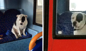 abandoned-dog-bus-buster-staffordshire-bull-terrier-london-fb