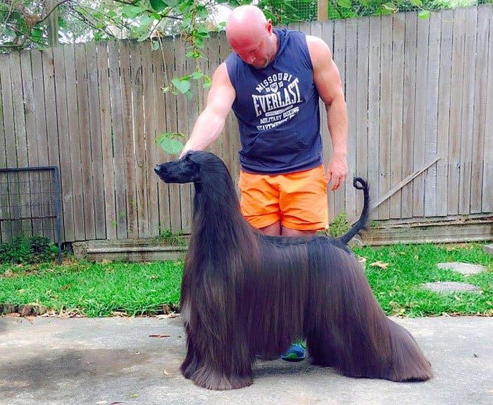long-hair-afghan-hound-tea-1