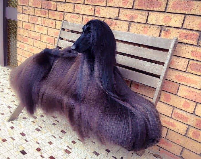 long-hair-afghan-hound-tea-5