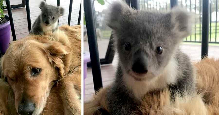 Cadela surpreende dono, após levar para casa coala bebé